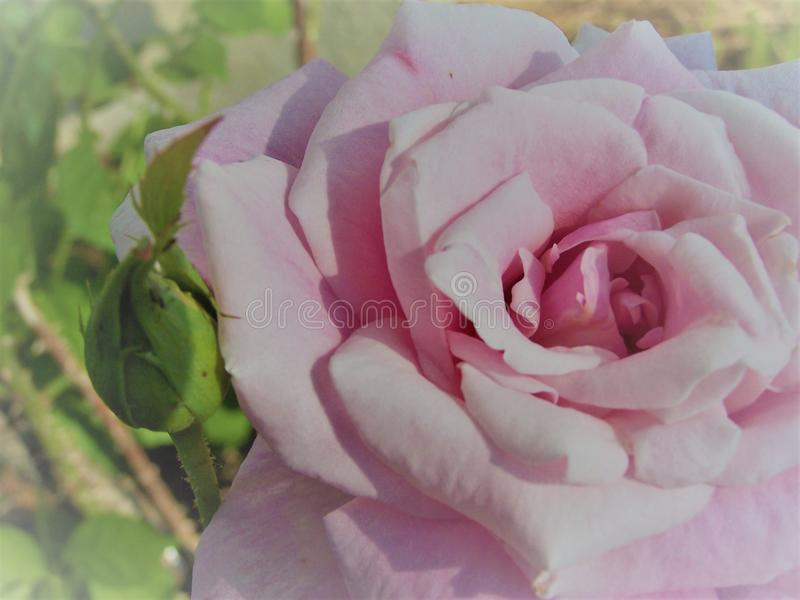 Belle Rose rose photos stock