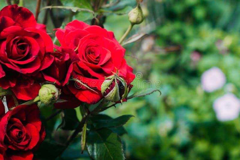Belle rose rosse nel giardino su un fondo verde fotografia stock