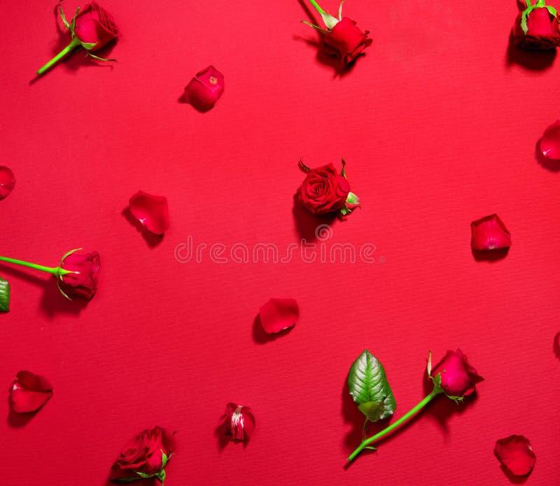 Belle rose rosse su fondo rosso Fiori rosa di festa con le foglie ed i petali flatlay Amore, giorno del ` s del biglietto di S. V fotografia stock libera da diritti