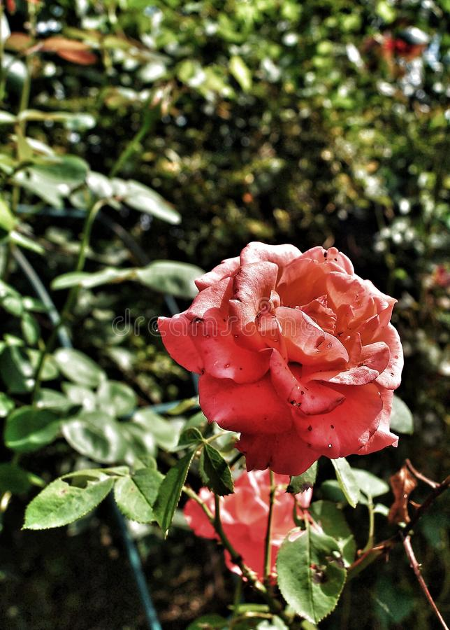 Belle Rose rouge photos stock