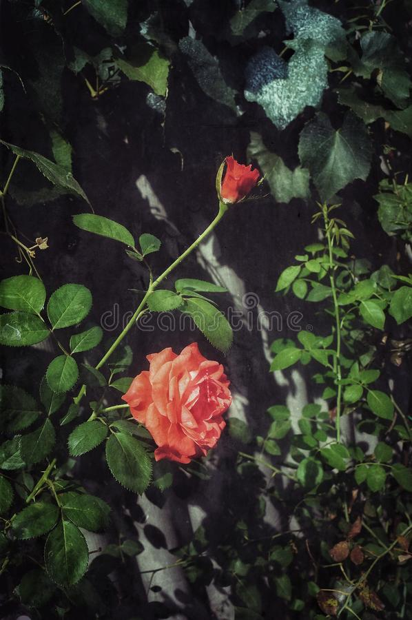Belle Rose rouge image stock