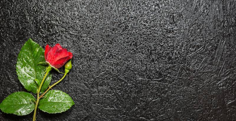 Belle rose rouge avec des gouttelettes d'eau au-dessus de fond noir photo libre de droits