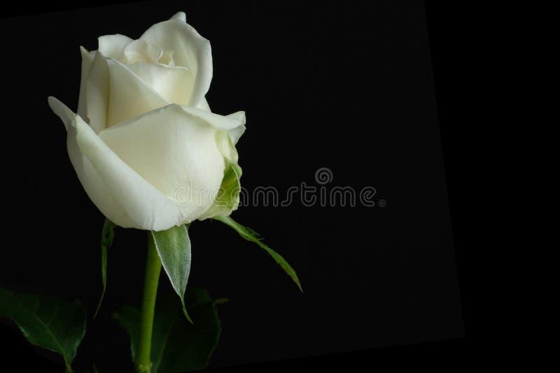 Belle rose simple de blanc image stock
