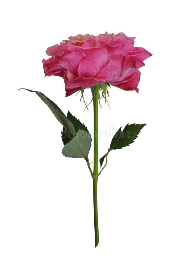 Belle rose simple de rose d'isolement sur le fond blanc images libres de droits