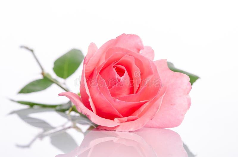 Belle rose simple de rose photo libre de droits