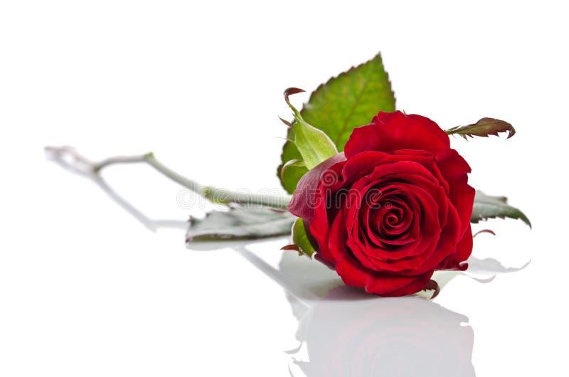 Belle rose simple de rouge se couchant images stock