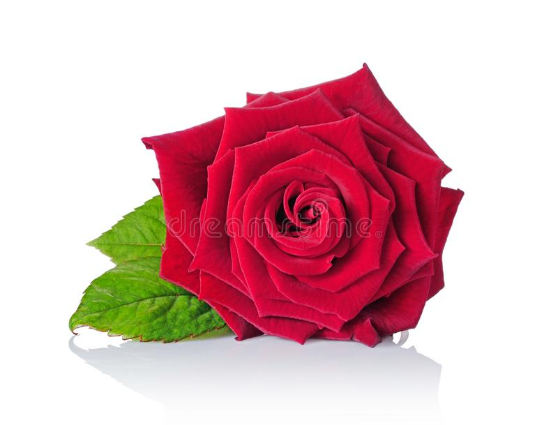 Belle rose simple de rouge de velours photo stock