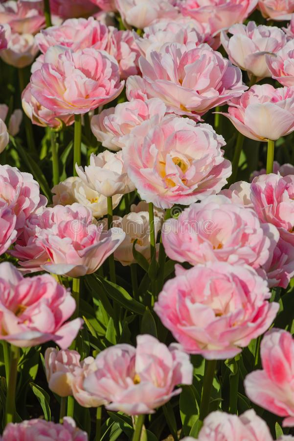 Belle Rose Tulips au printemps photo stock