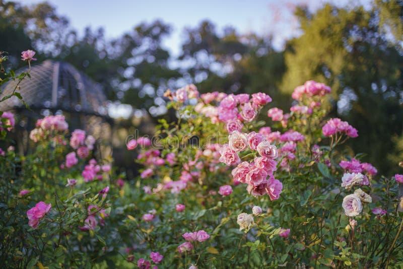 Belle roseraie de jardin de Descanso photographie stock