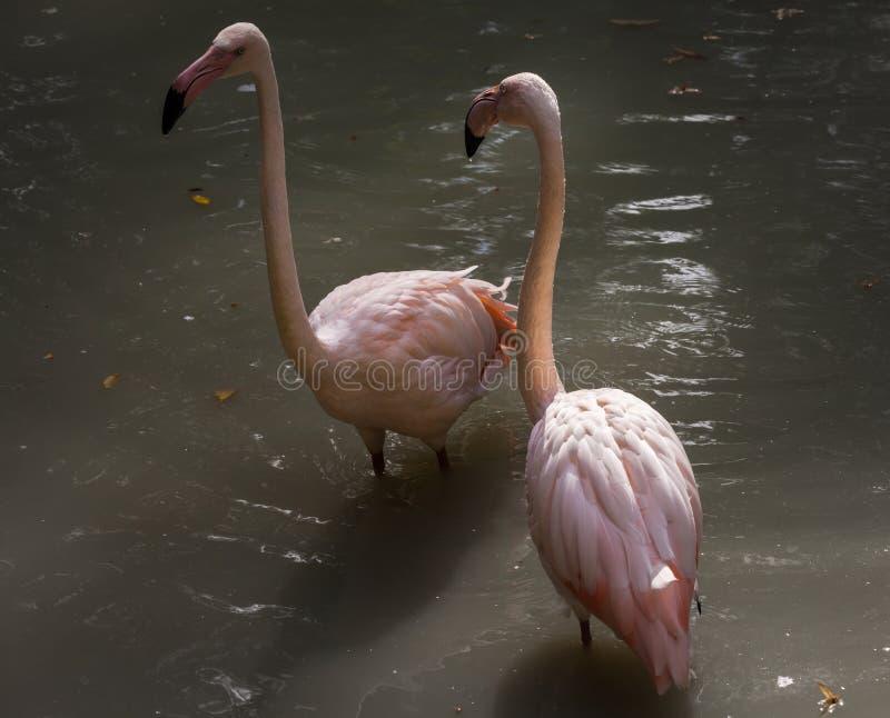 Belle Rosy Flamingos rose se reposant dans l'eau photos libres de droits