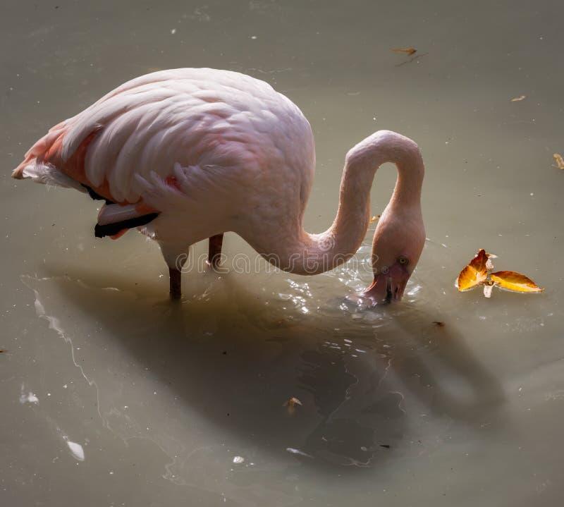 Belle Rosy Flamingos rose se reposant dans l'eau photographie stock libre de droits