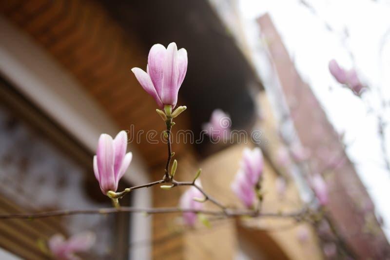 Belle saison rose de fleurs de magnolia au printemps sur la rue d'Amsterdam photos libres de droits