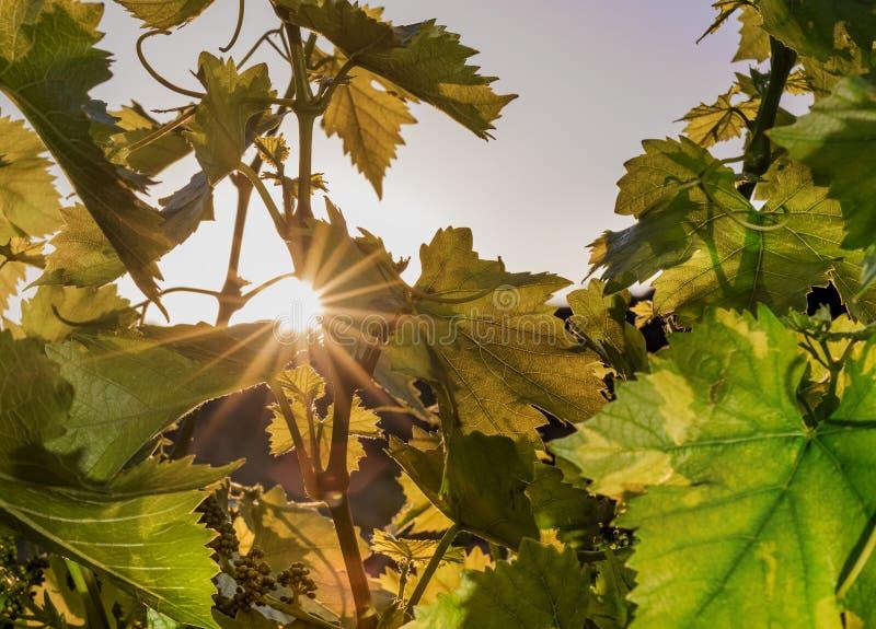 Belle scène avec le groupe de raisin vert dans le vignoble au lever de soleil image stock