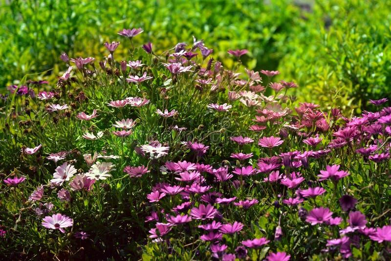 Belle scène douce de nature avec un bon nombre de fleurs violettes photo stock