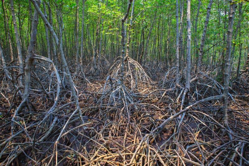 Belle structure naturelle de racine d'arbre de palétuvier dans le mangrov de nature photos stock