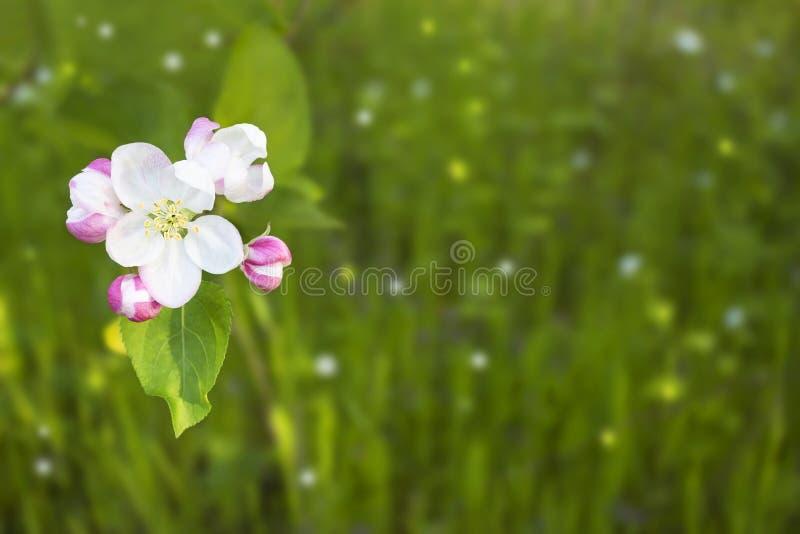 Belle tête de fleur simple de pommier et de lapin ensoleillé image stock