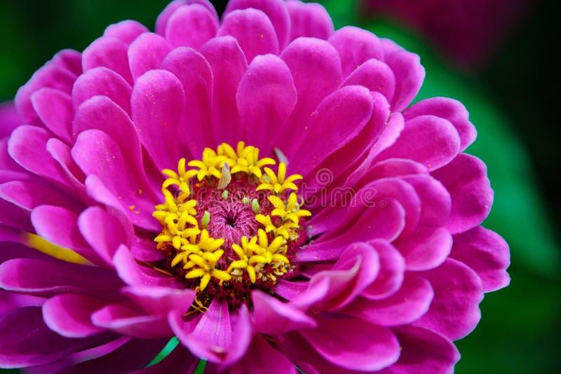 Fleur de Zinnia photos stock