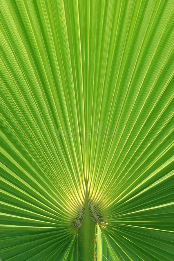 Belle texture de lame de palmier images stock