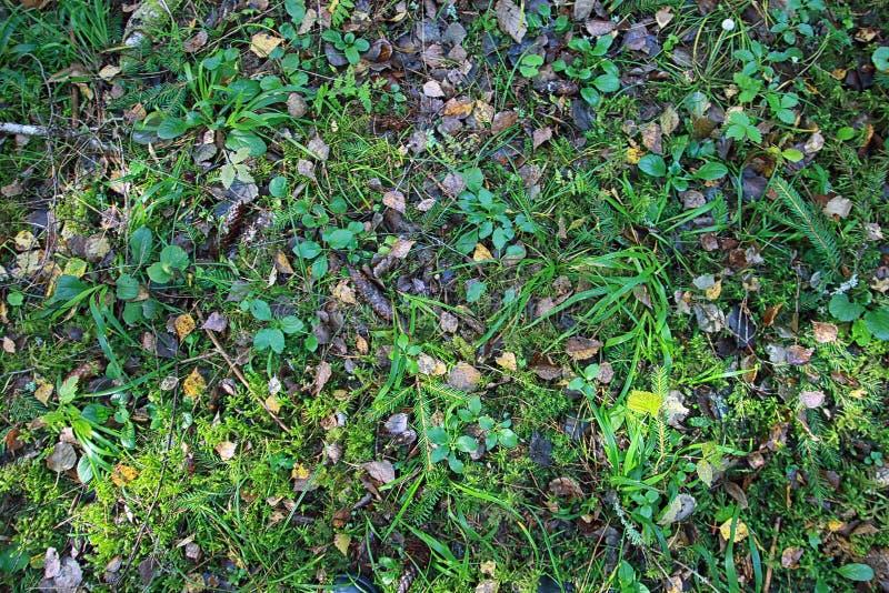 Belle texture de plancher de forêt avec des cônes d'herbe et de pin et de feuilles tombées en été images stock