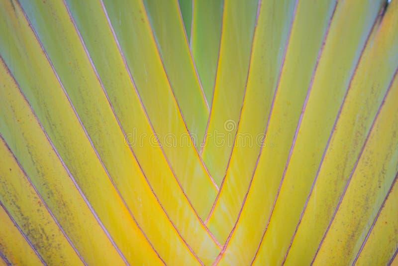 Belle texture du tronc d'arbre du voyageur (madagascariensis Sonn de Ravenala) Fermez-vous vers le haut du petit groupe de textur photos stock