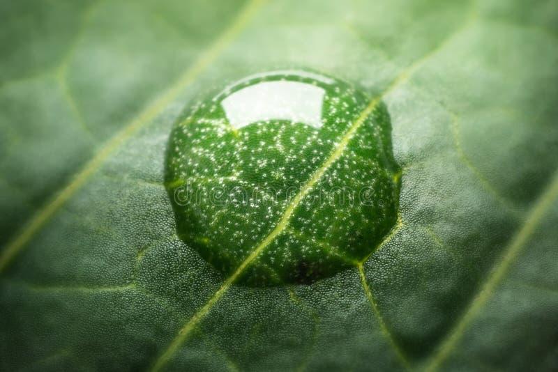 Belle texture verte de feuille avec des gouttes de l'eau F très peu profond photo libre de droits