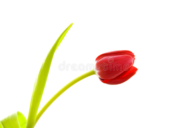 Belle tulipe photographie stock libre de droits