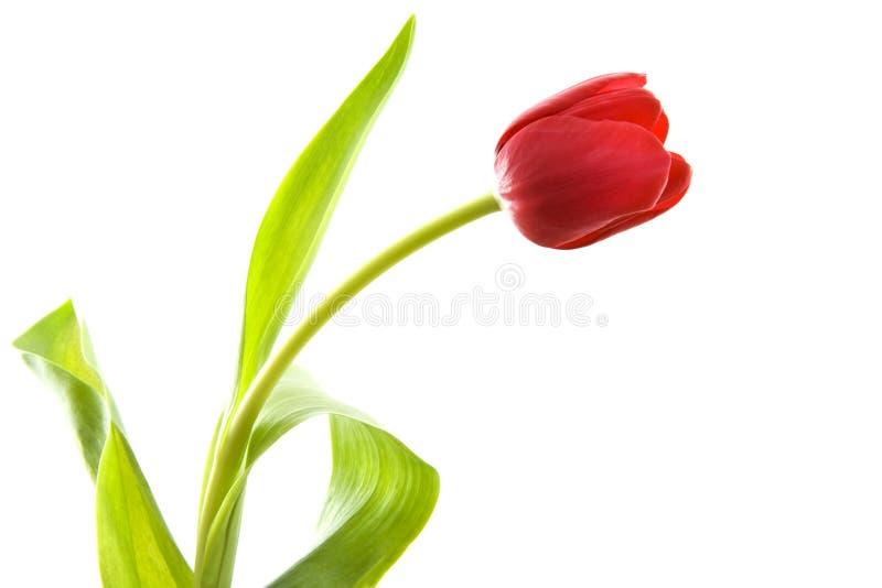 Belle tulipe photos stock