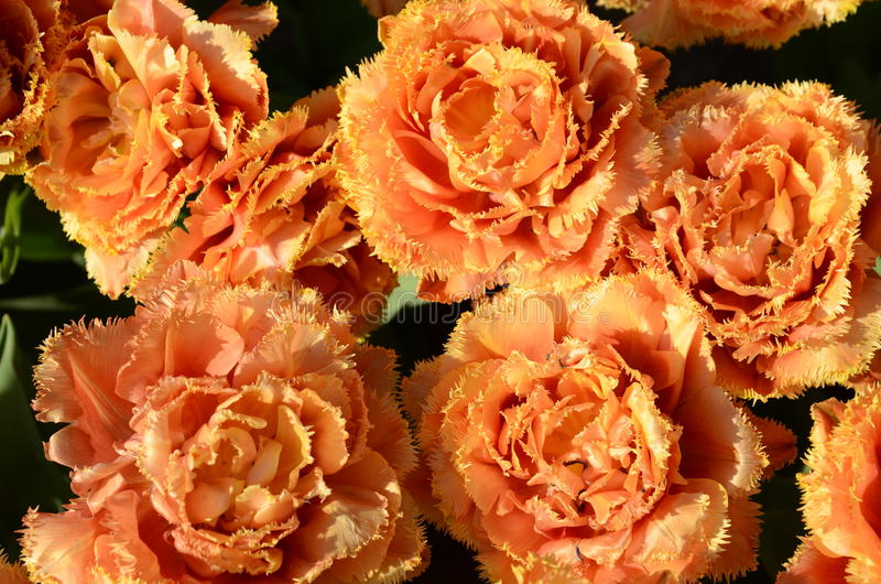 Belle tulipe images libres de droits
