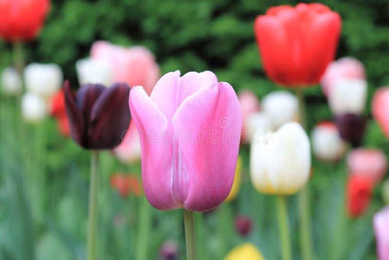 Belle tulipe de rose de ressort sur un fond des tulipes et des arbres verts image stock