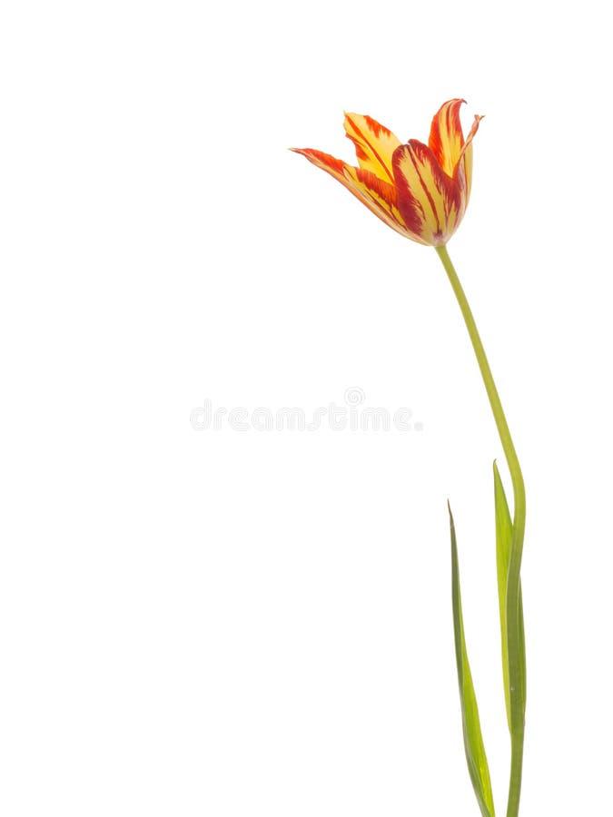 Belle tulipe lumineuse photographie stock