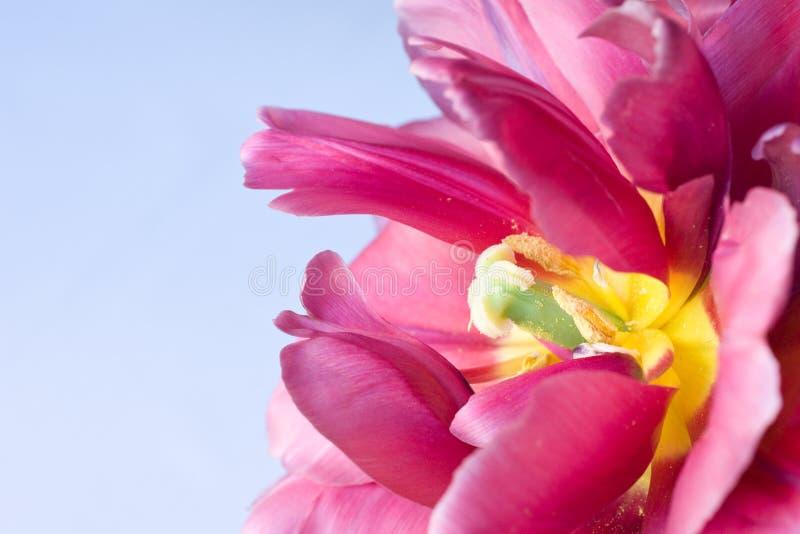 Belle tulipe rose photos stock