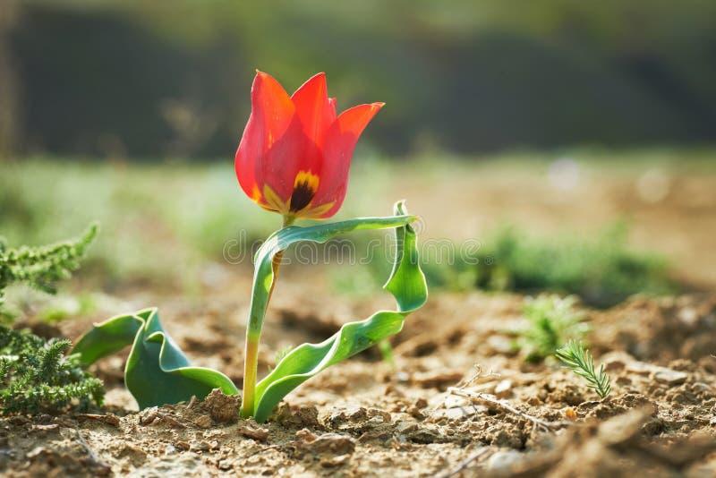 Belle tulipe sauvage rouge image stock
