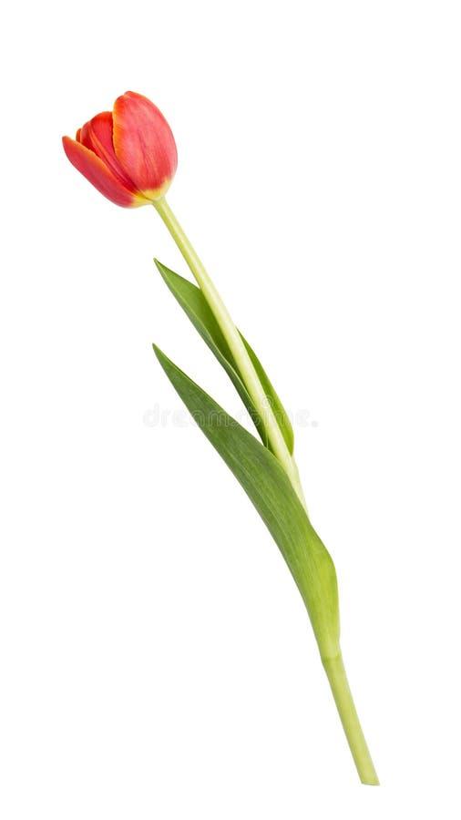 Belle tulipe simple photos libres de droits