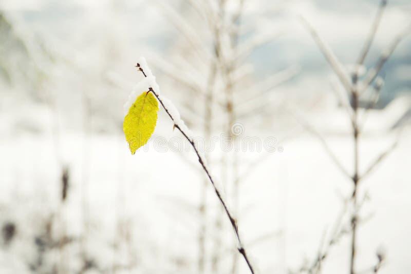 Belle usine avec la feuille jaune couverte de neige photographie stock libre de droits