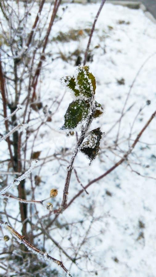 Belle usine congelée dans la neige en hiver photographie stock