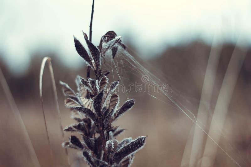 Belle usine sèche avec un plan rapproché de Web En automne l'herbe s'est fanée et a séché  l?gumineux images libres de droits