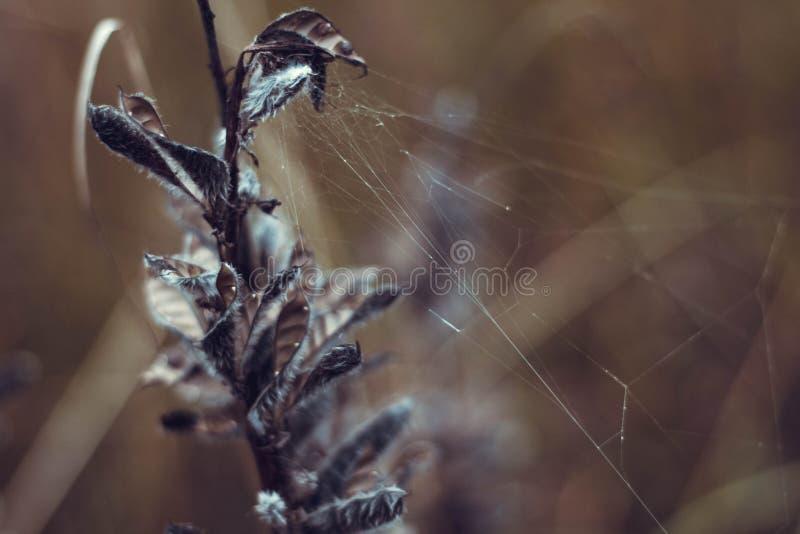 Belle usine s?che avec un plan rapproch? de Web En automne l'herbe s'est fan?e et a s?ch?  l?gumineux photo libre de droits