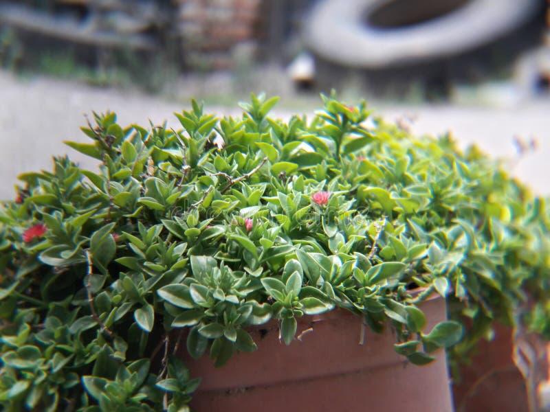 Belle usine verte de rayon de soleil avec les fleurs roses et rouges dans un pot photo stock
