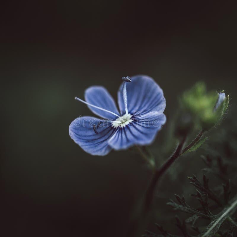 Belle véronique bleue rayée de germander de fleur, chamaedrys de Veronica, vervain bas, oiseau-oeil sur le fond vert-foncé Plan r image libre de droits