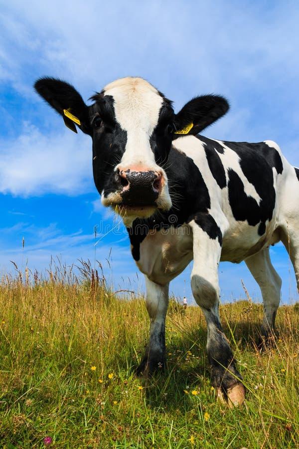 Belle vache laitière se tenant dans le domaine photos stock