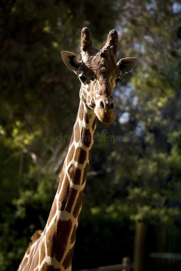 Belle verticale d'une giraffe images libres de droits