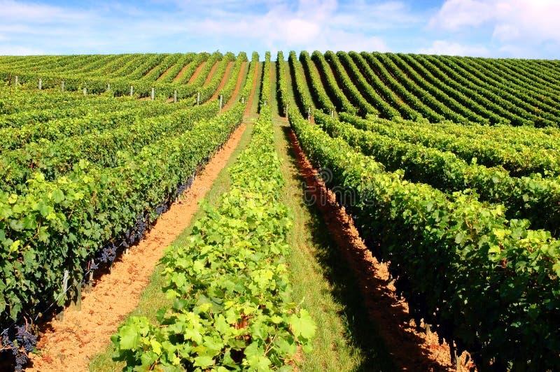 Belle vigne photo libre de droits