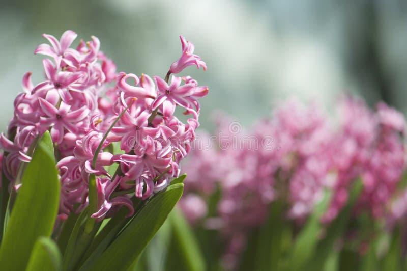 Belle Violet Pink Little Flowers dans le jardin photo stock