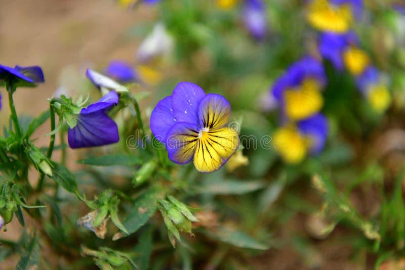 Belle violette de pensée colorée fleurie photos libres de droits
