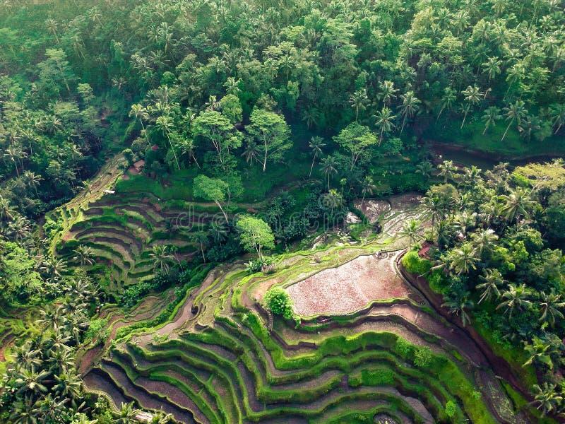 Belle viste dei terrazzi del riso sui precedenti della giungla fotografia stock libera da diritti