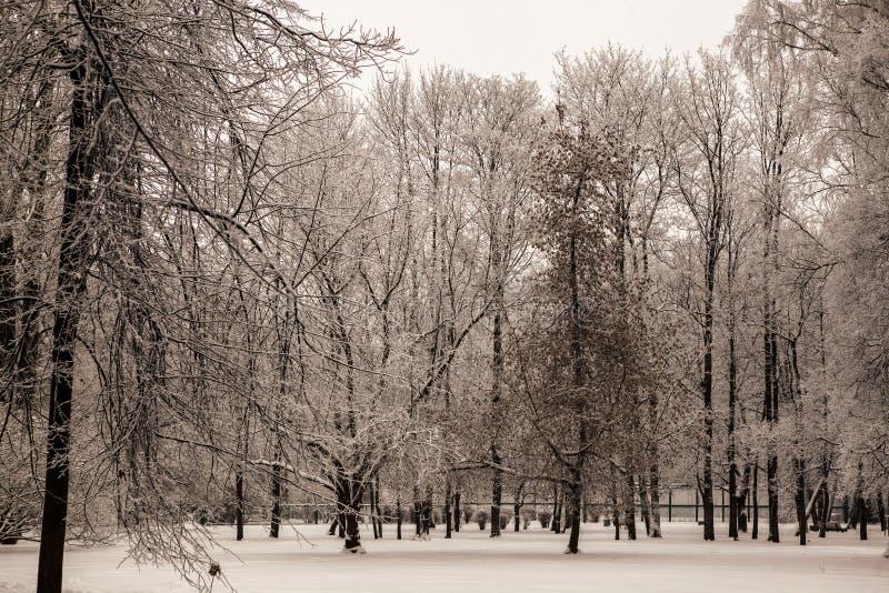 Belle viste della foresta canadese di inverno nella neve ai giorni gelidi di tramonto Alberi coperti nel gelo ed in neve fotografia stock