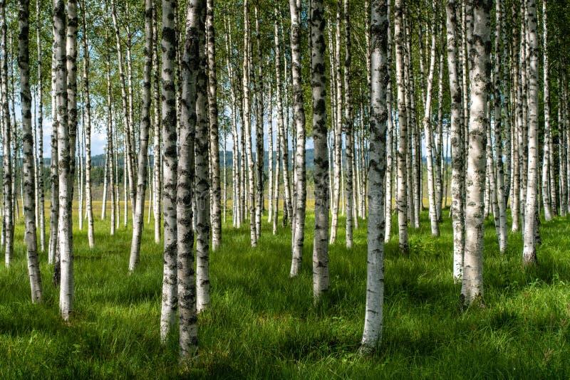 Belle vue d'été d'un verger des arbres de bouleau avec l'herbe verte image stock