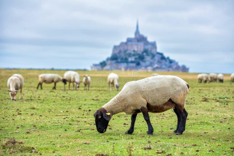 Belle vue d'île de marée historique célèbre de le Mont Saint-Michel avec des moutons frôlant sur des champs d'herbe verte fraîche images libres de droits