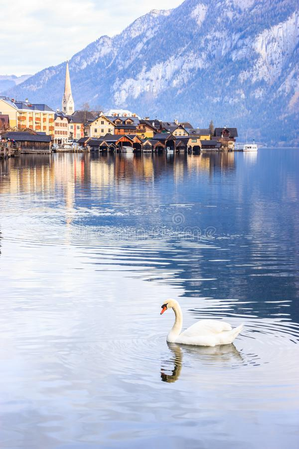 Belle vue d'un cygne blanc avec un fond de village alpin de Hallstatt, de Hallstattersee ou de lac Hallstatt, Hallstatt, Autriche photo stock