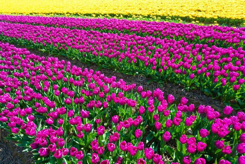 Belle vue de champ des tulipes jaunes et pourpres images stock